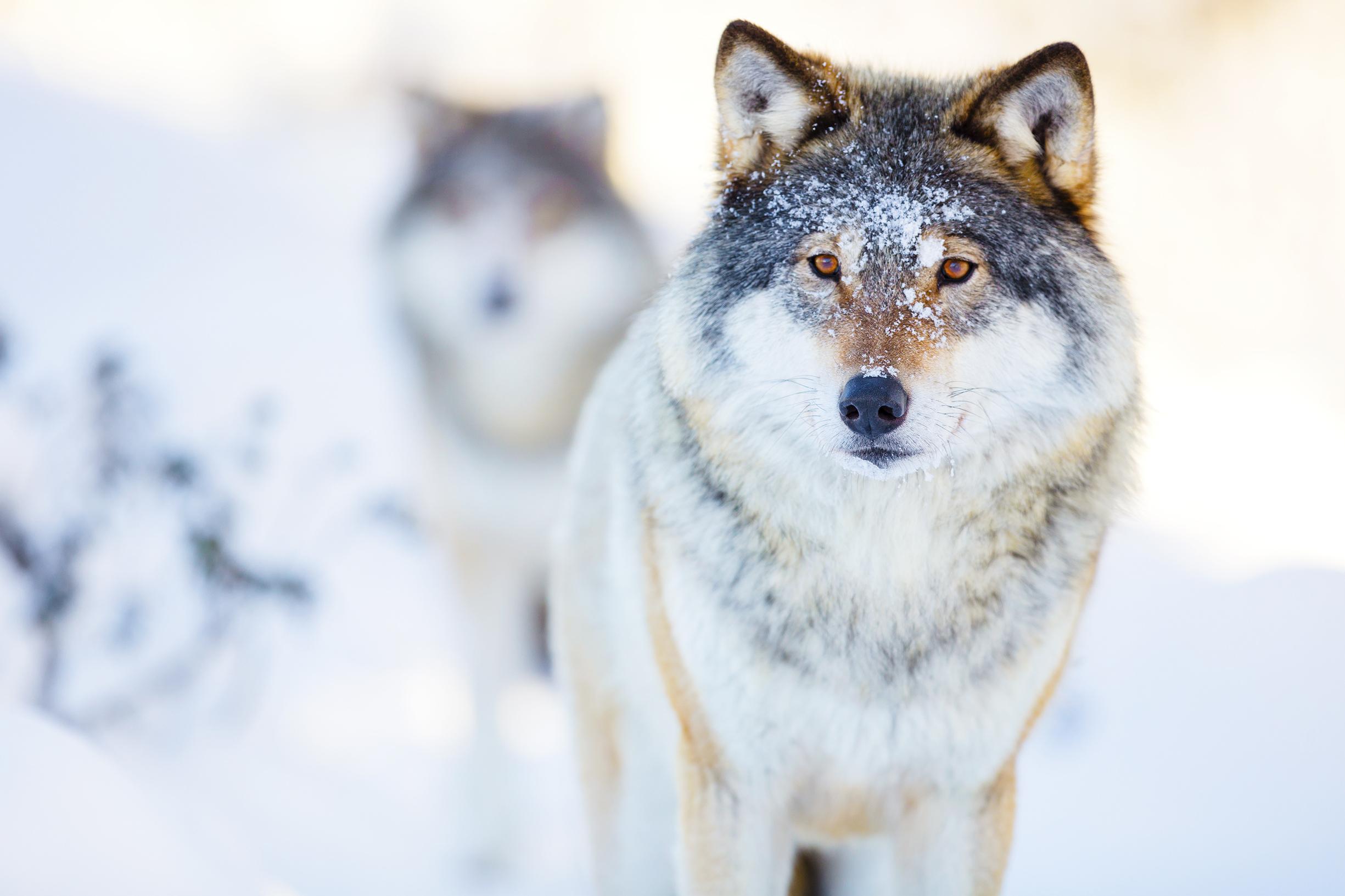 Ögonkontakt med hund respektive varg