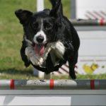 Hundar – Border Collie